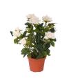 Mini roos plantje in pot